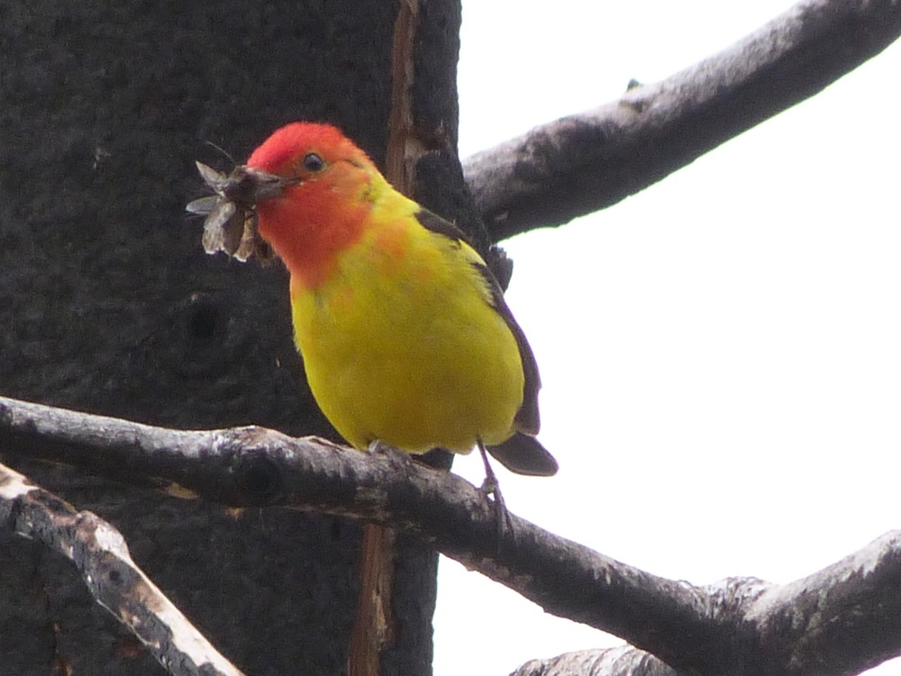 bh t P1060666 Western Tanager.jpg