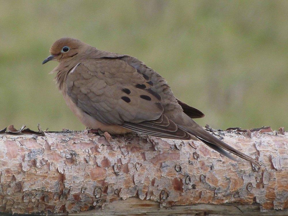 bc P1060687 mourning dove.jpg