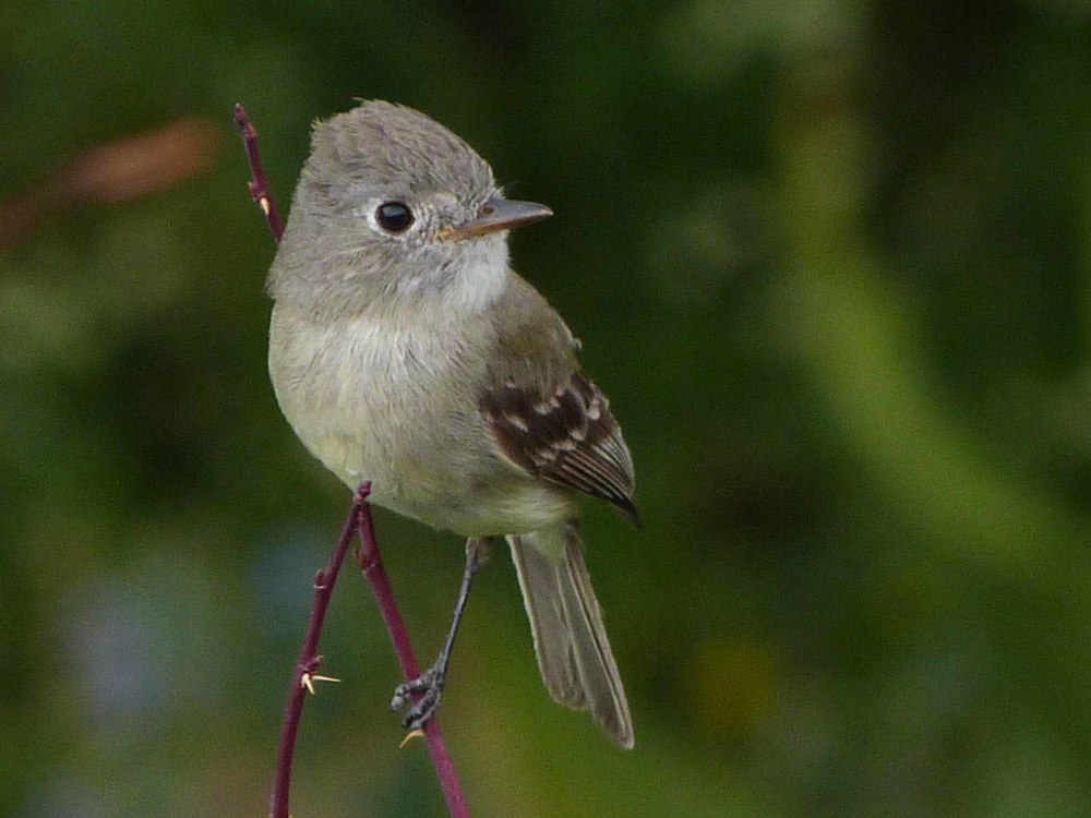 be P1060801 Dusky Flycatcher.jpg