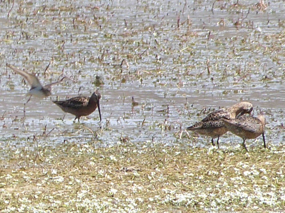 br P1070107 Dowitchers.jpg