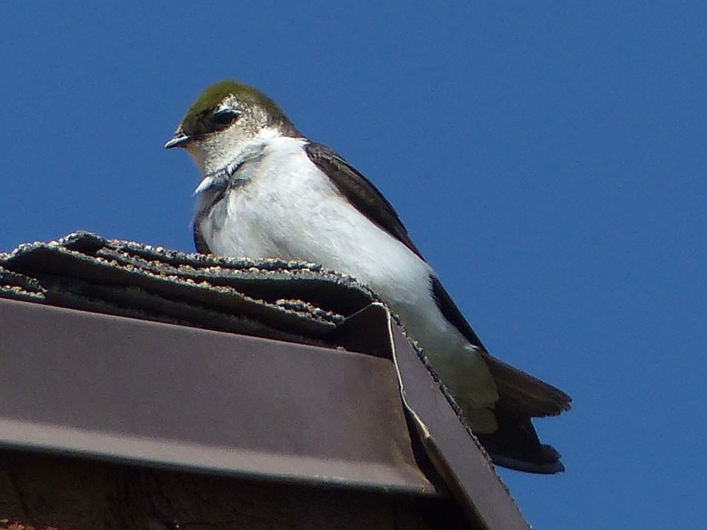 bcs P1150597 Violet-green Swallow.jpg