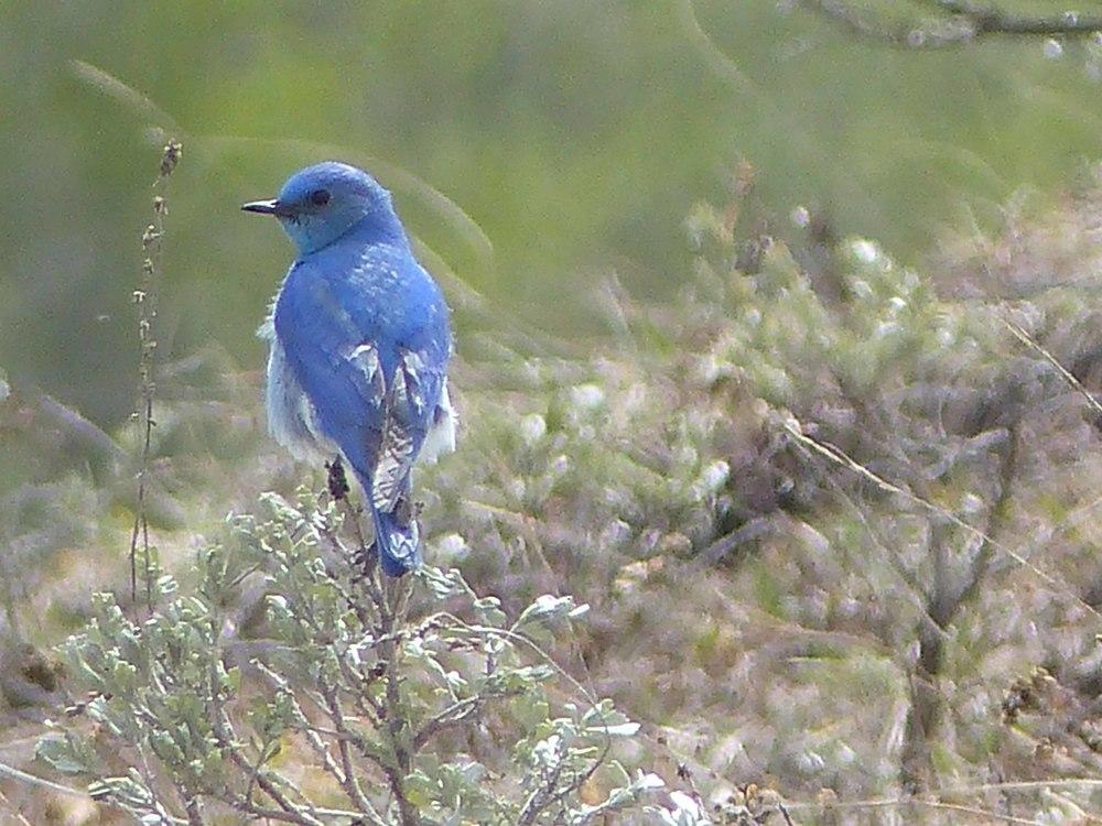 bhb P1150704 Mt Bluebird.jpg
