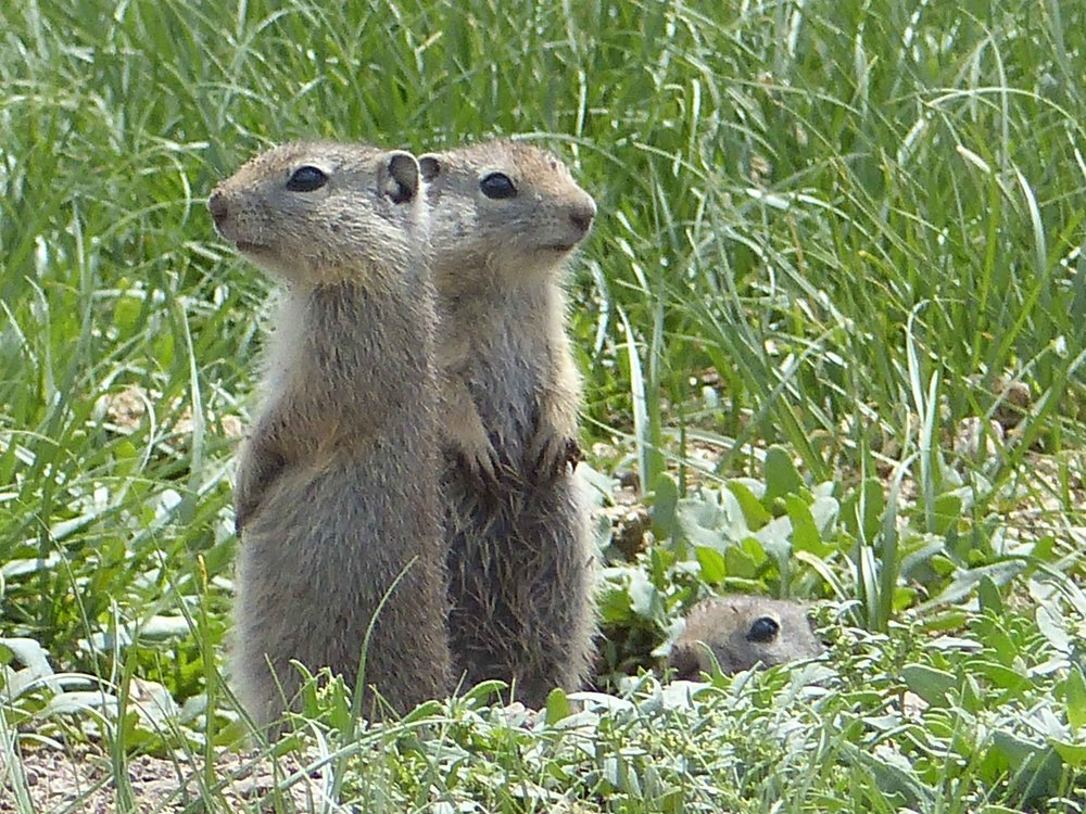 a P1150893 Ground squirrels.jpg