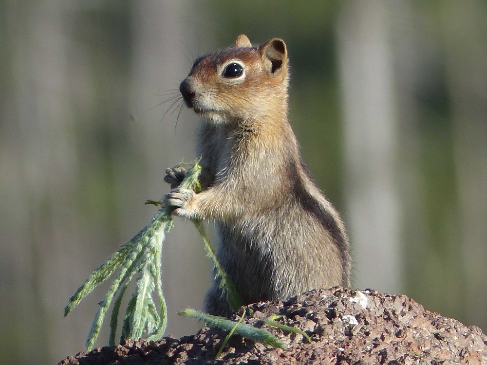 a P1160005 Golden-mantled Ground Squirrel.jpg