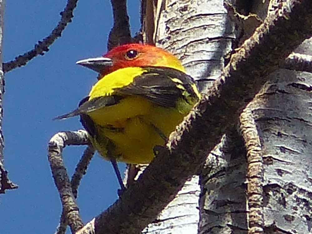 bh t P1160189 Western Tanager.jpg