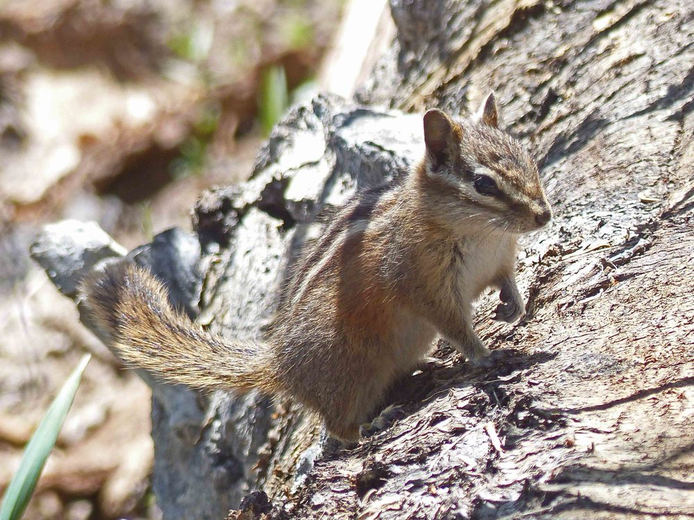 ac P1160193 High chipmunk.jpg