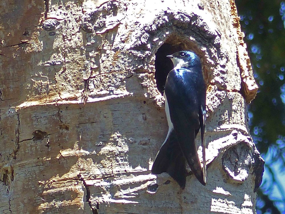 bcs P1160219 Tree Swallow.jpg