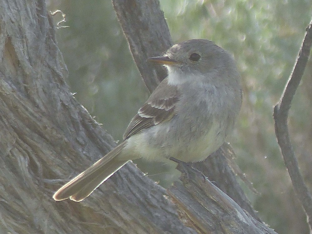 be P1160336 Gray Flycatcher.jpg