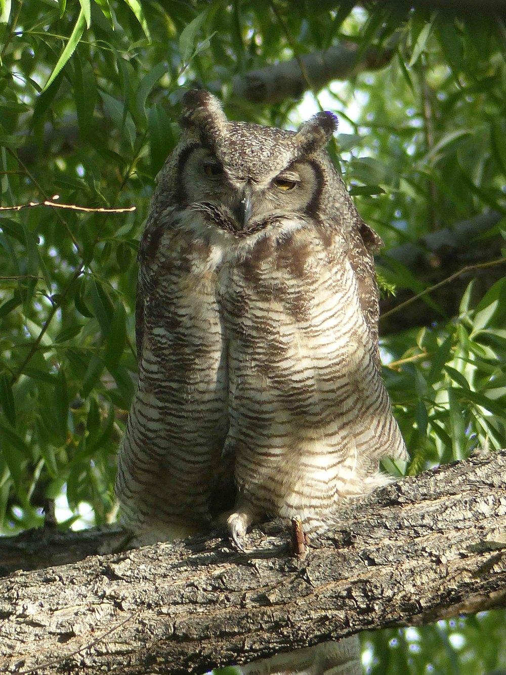 bc P1160366 GH Owl vert.jpg