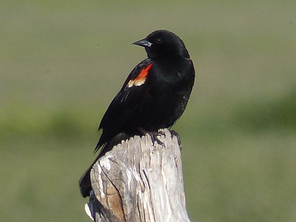 bm P1160405 Redwing Blackbrd.jpg