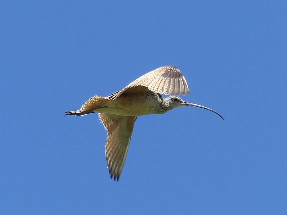 bm P1160524 Long-billed Curlew watching.jpg