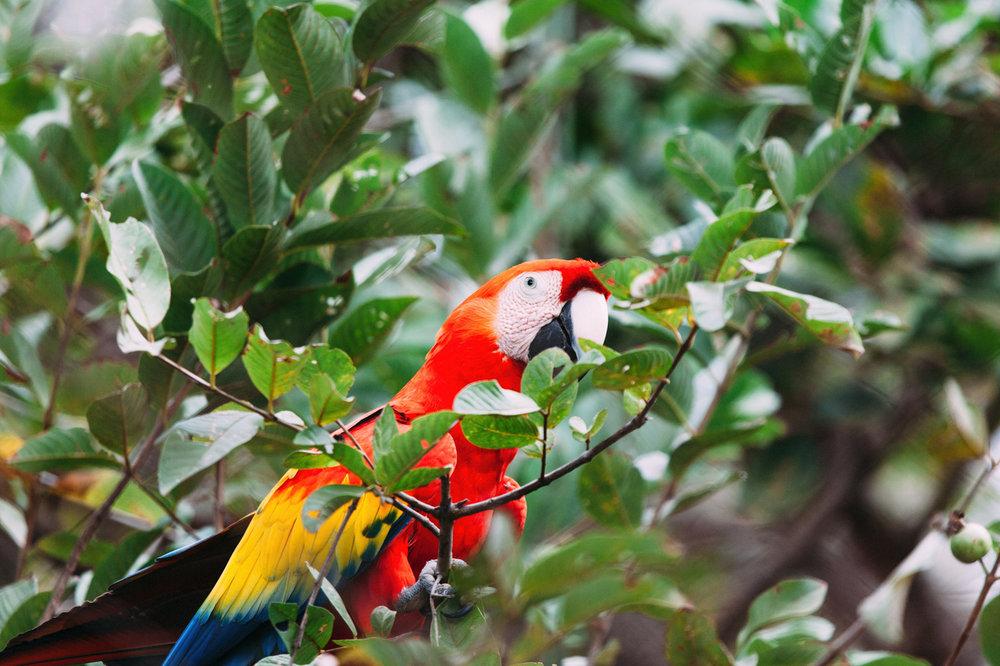 parrot nicaragua
