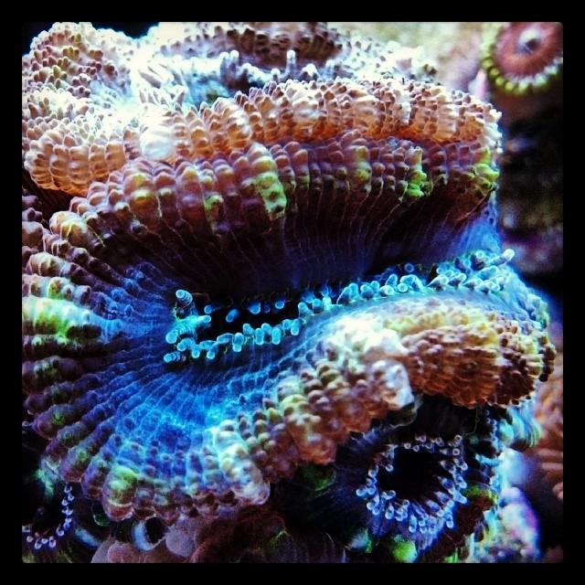 #acan #acanlord #reef #fragssavereef  #reeftank #coral #encinitastropicalfish #lps #redseamax250