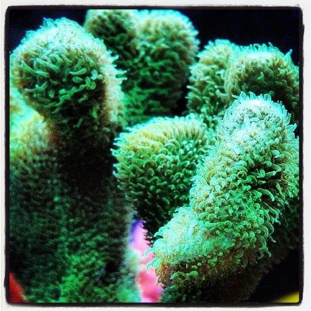Psammacora #coral #sps #reeftank # Encinitastropicalfish