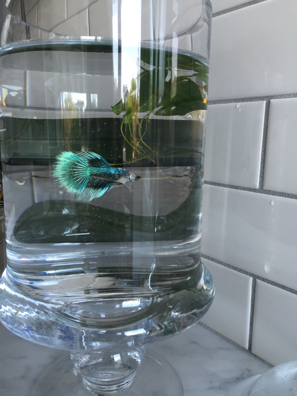 No kitchen is complete without a little fishy friend--we named Mochi in honor of the rice paddy puddles from which we learned his ancestor hail.