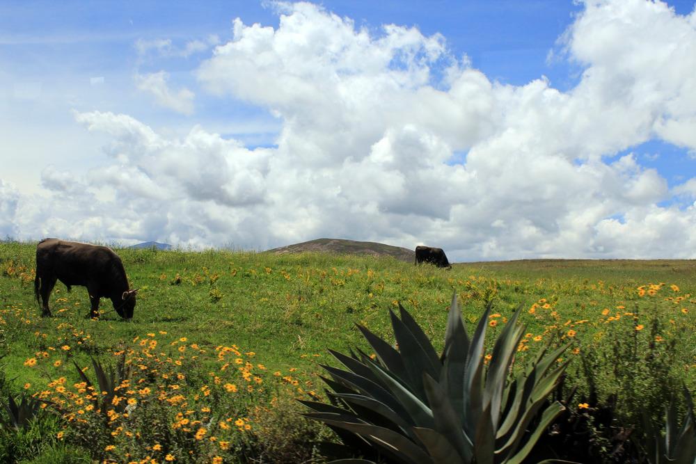 2 Cows.jpg