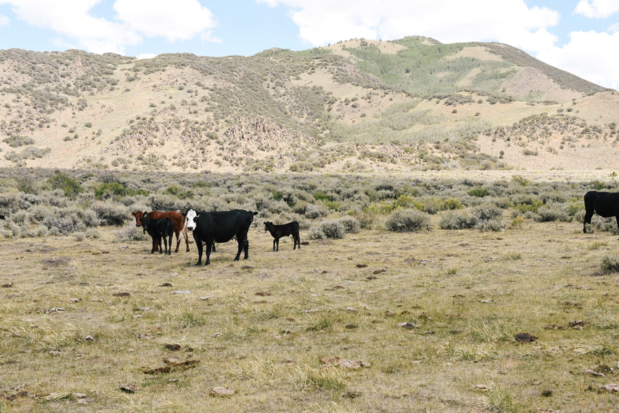 cattle Nevada Shoshone Mountains