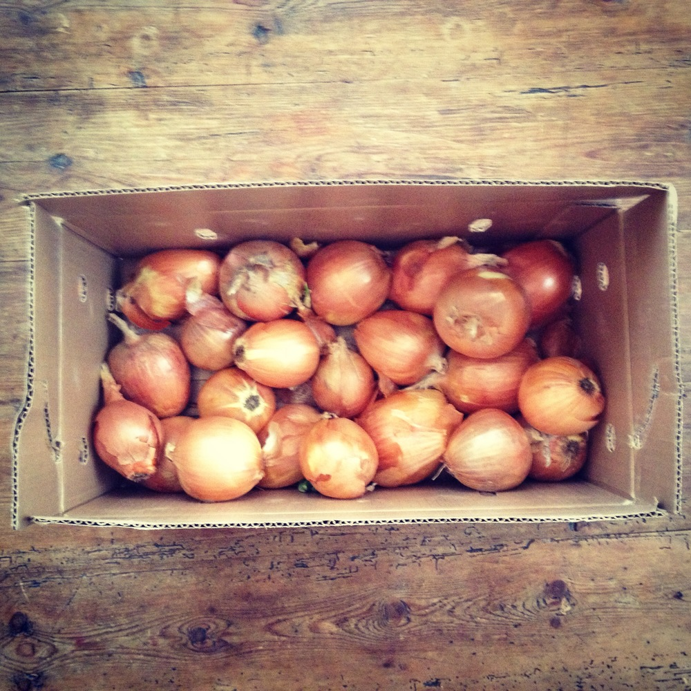 Bare Knuckle Onions Still Storing Strong