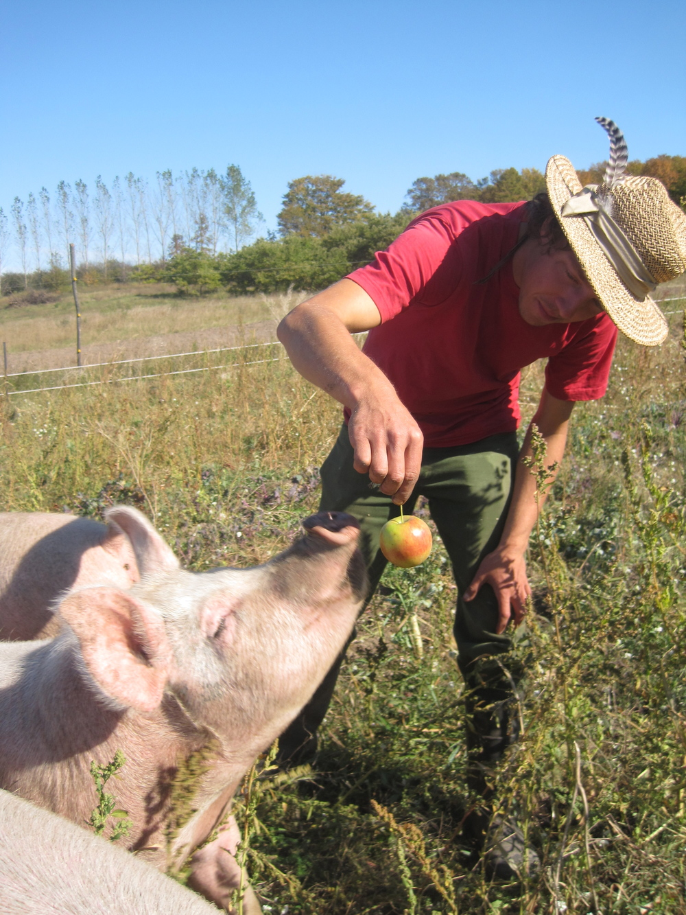 Apples: not just for pigs