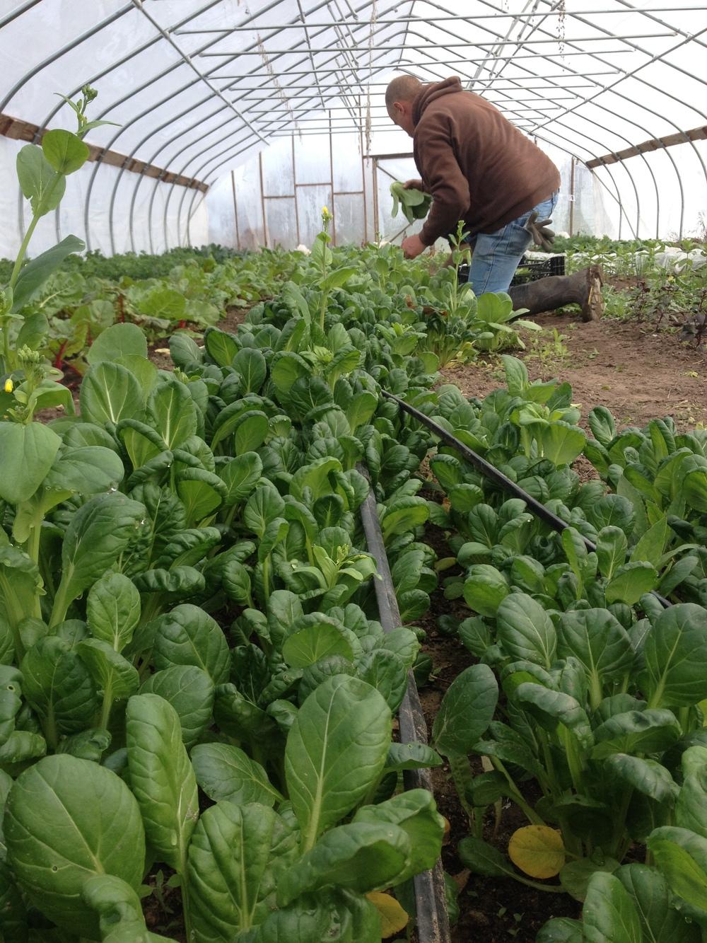 John Harvesting Tatsoi