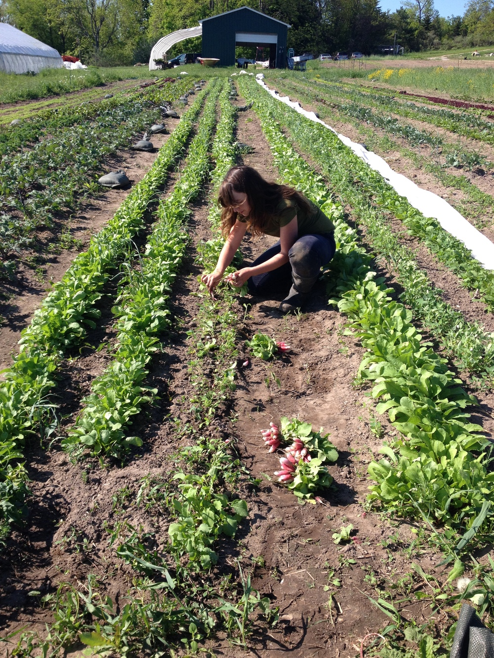Cassie Harvesting Radishes