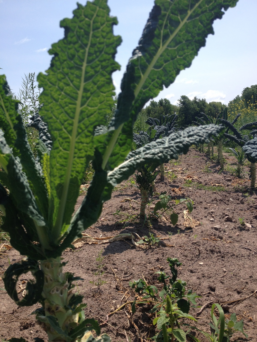Kale Palm Trees