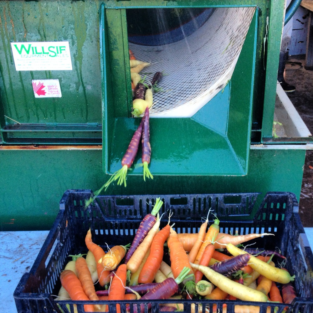 Clean Carrots out of the Root Washer