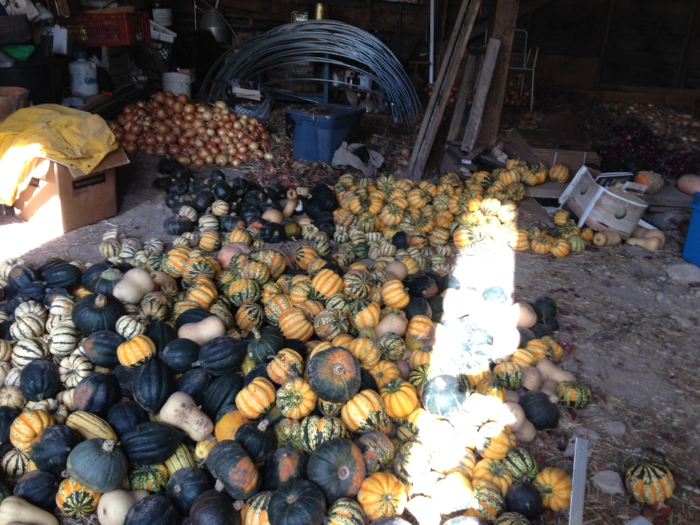 Squash curing in the barn