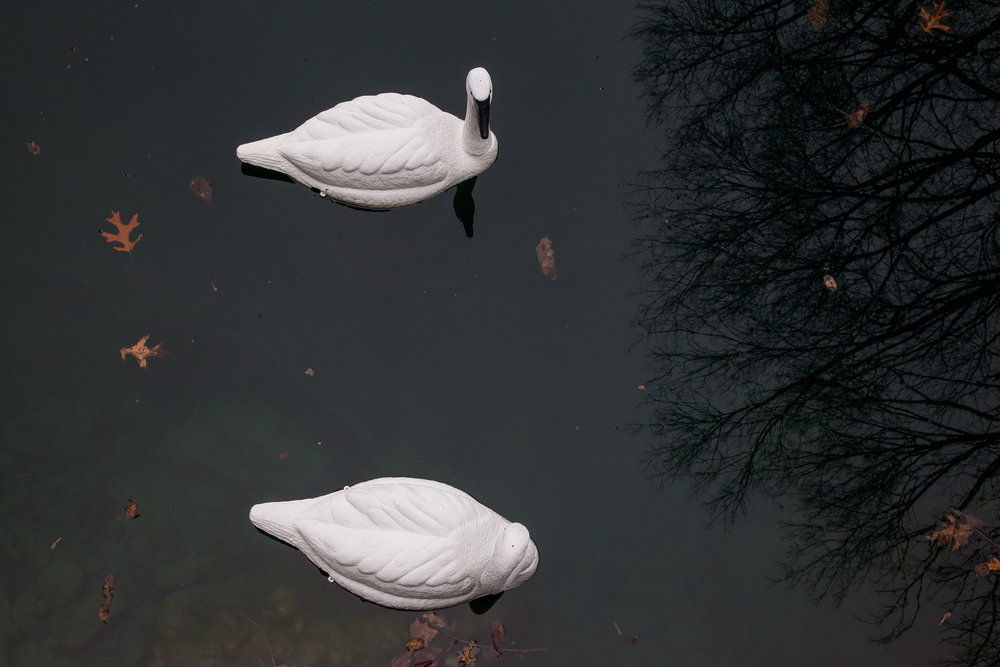Pond_Swans_02.jpg