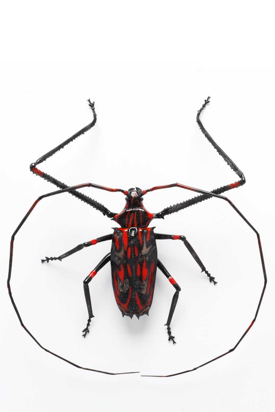 Vittorio Costantini,  Euphosos (Snout Beetle)  (2007, soda-lime glass, 6 5/8 x 5 7/8 x 1 3/4 inches), LT.108