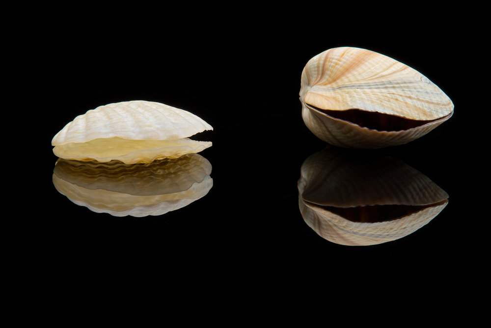 Vittorio Costantini,  Lot of two clams  (glass, size variable), VC.253