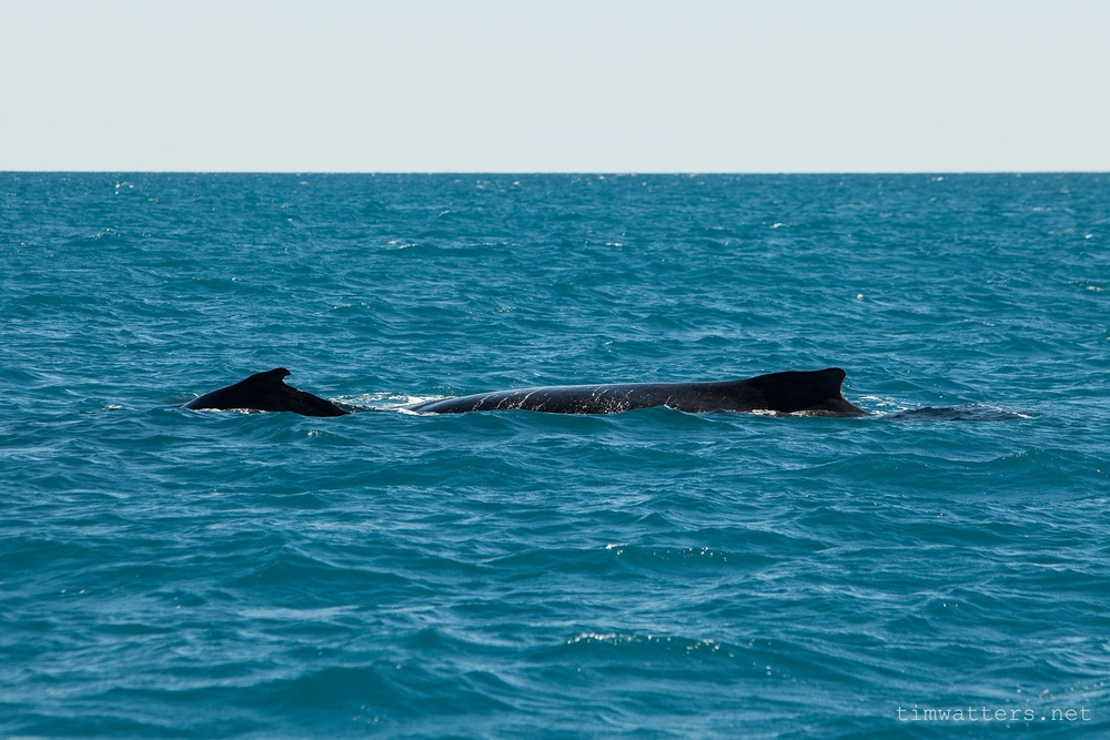 A new born Humpback whale calf with its mother off the Broome coast, which is home to the worlds largest whale nursery.