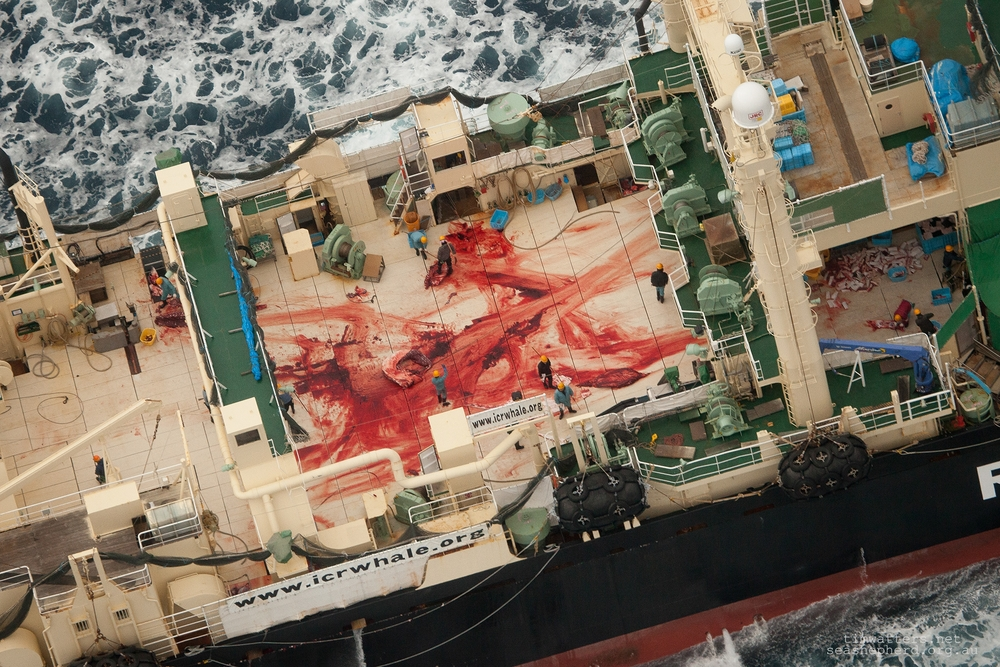 The butchered remains of an illegally killed Minke Whale aboard the Nisshin Maru, taken in January 2014 during Sea Shepherds 10th Antarctic Whale Defence Campaign, 'Operation Relentless'.