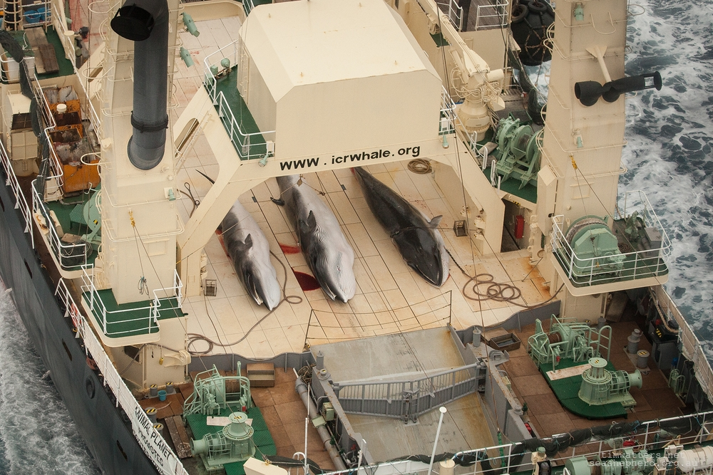 The Japanese Whaling Fleets factory vessel, the Nisshin Maru, with 3 dead Minke Whales on its deck.