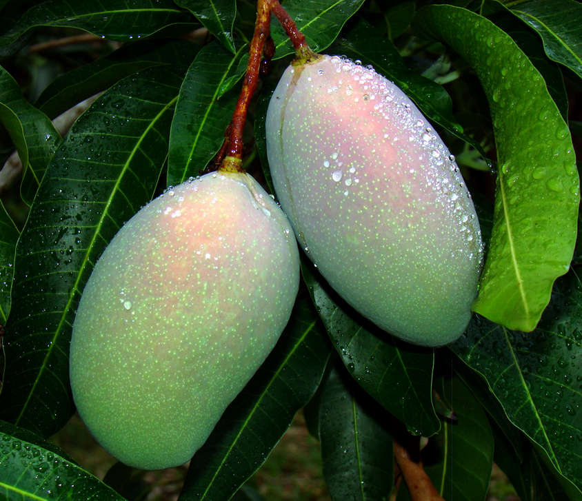 Cogshall mangoes