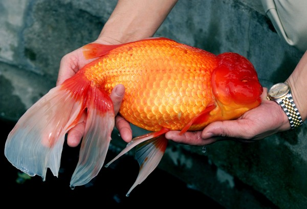 A 15-inch goldfish named Bruce is lifted from the water at a fish farm in Dongguan, China, in 2002. Photograph by Bobby Yip/Reuters