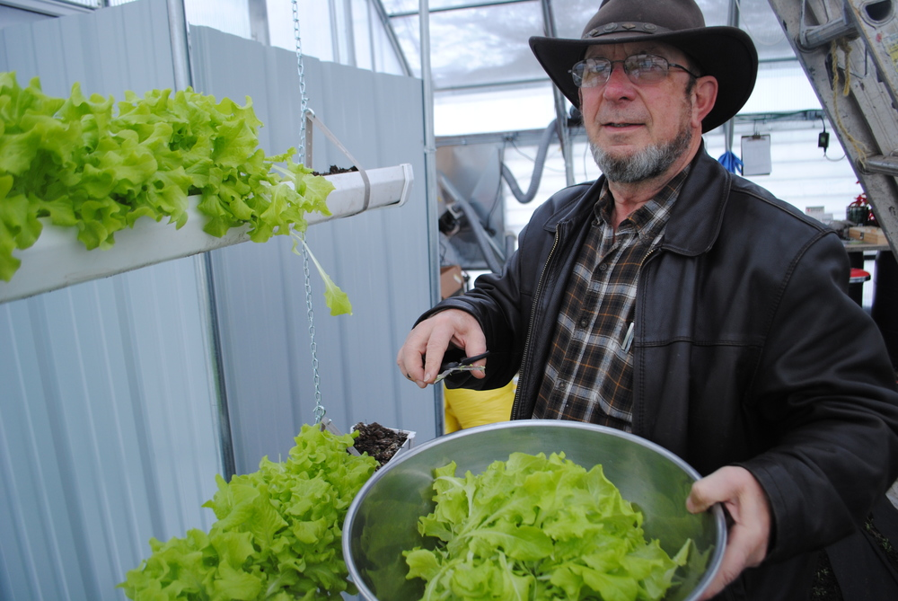 WDC Greenhouse Assistant Ed Lewis harvests the first crop of lettuce from the school's greenhouse Tuesday morning. The black-seeded Simpson variety was planted on Dec. 4. (Photos by Dana Pavek, WDC Schools)