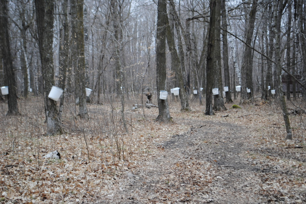 Schwartz tapped 300 maple trees on his wooded property by Sebeka this spring.
