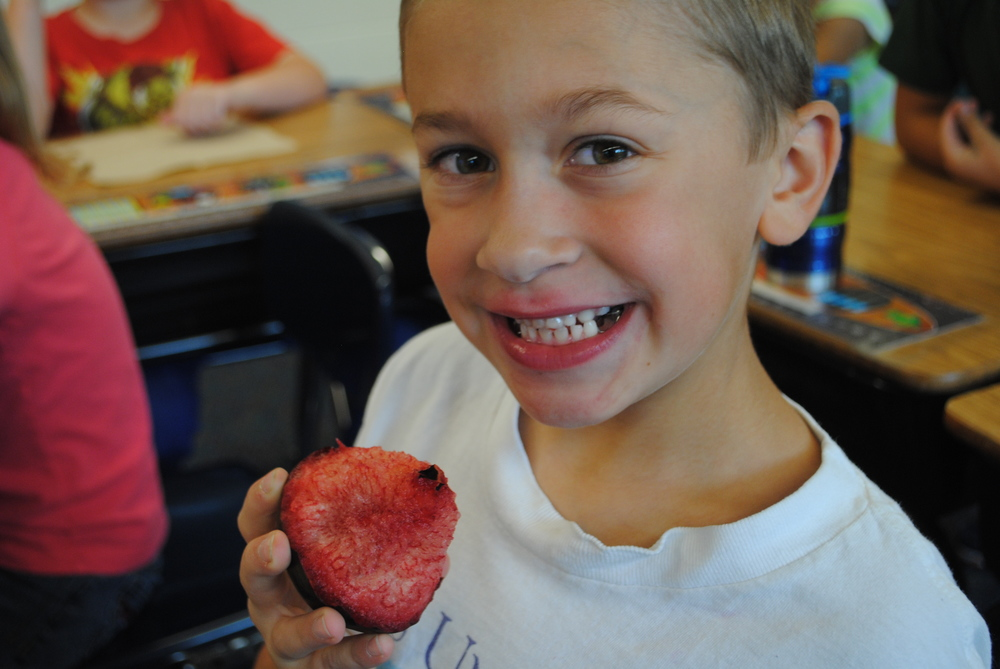"WDC second-grader Derek Peterson enjoys a pluot in Vicki Smith's class. A pluot is a cross between a plum and an apricot. Pluots are sweet and juicy and just about the right size for a kid's afternoon snack. Sometimes the pluot is called ""dinosaur eggs"" because they're egg-shaped with a pinkish-red mottled appearance. What kid wouldn't love to eat a dinosaur egg? (Photos by Dana Pavek, WDC Schools)"