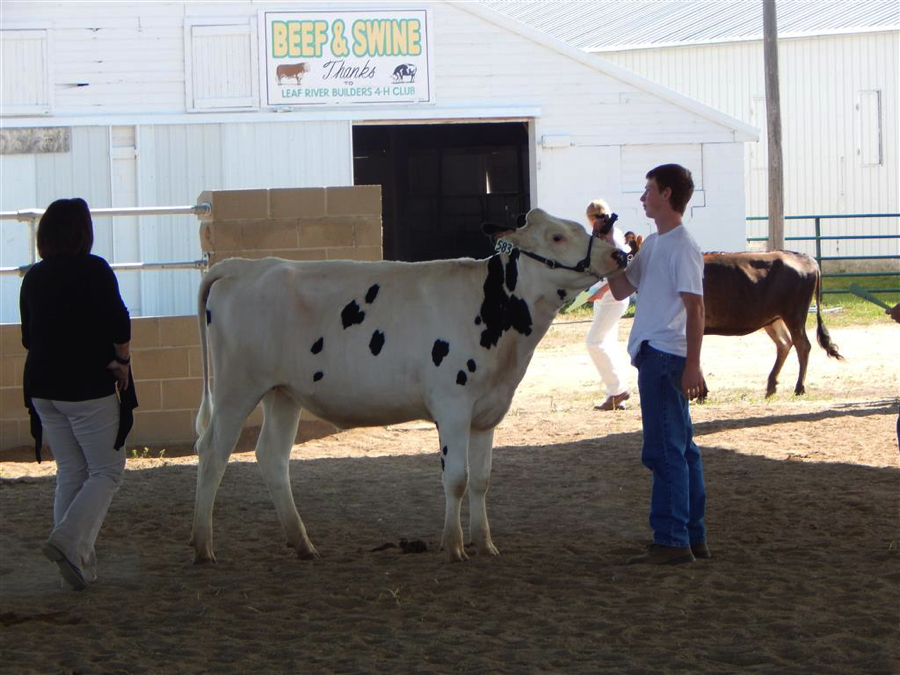 Jack Goeden shows cattle at the Wadena County Fair as part of his Dairy Production Entrepreneurship Proficiency. Courtesy photo.