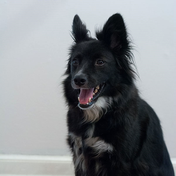 Chester, our border collie corgi mix