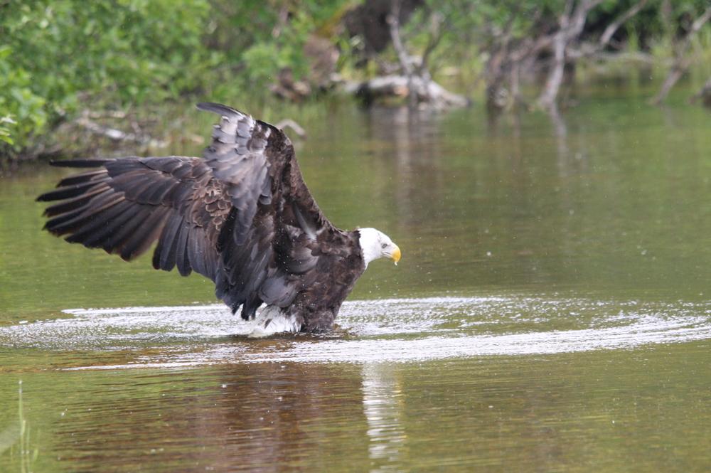eagle release 6.JPG