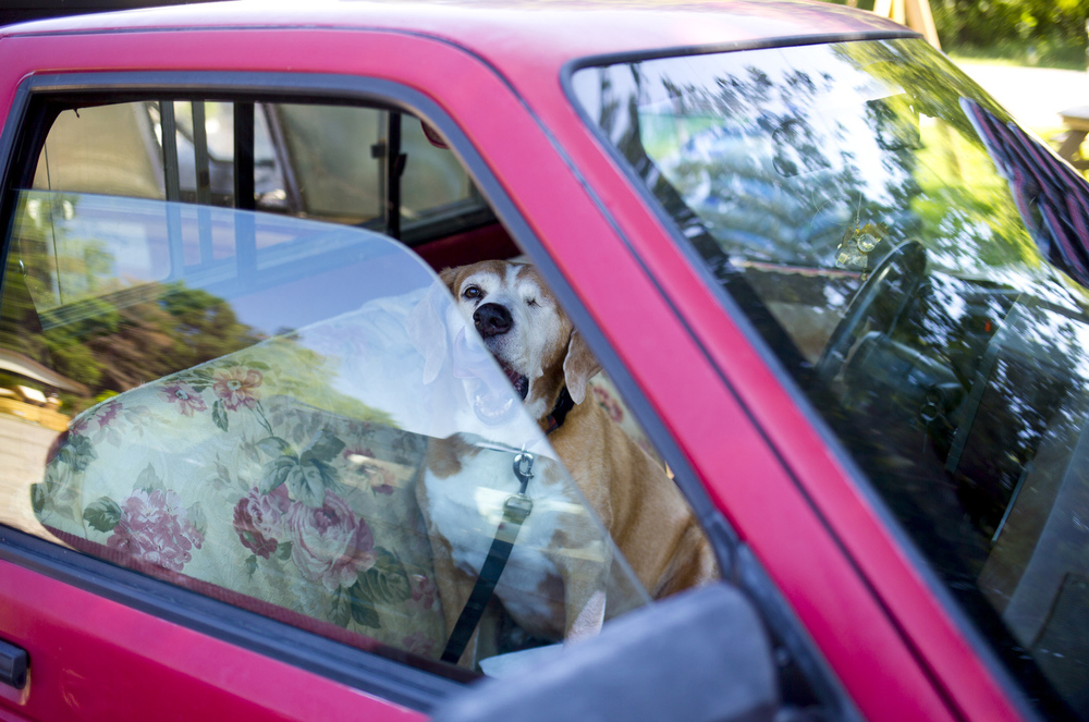 """Copper, a rescue fox hound, awaits Novajean Casler in her truck as she works on a barn quilt Wednesday, July 15, 2015, at The Hobbit Place in Spring Arbor Township. Casler has been painting barn quilts for about 10 years and painting since she was a child. """"I lean toward the old, old quilt patterns,"""" she said. """"The traditional things from agriculture and our heritage. I'm not drawn to doing buildings, skyscrapers, city scenes, or anything like that. I love our heritage."""" (Nick Gonzales 