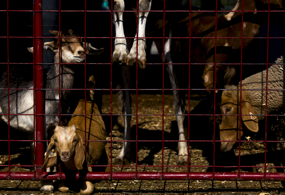 Goats huddle at a red fence waiting for fair goers' attention at the Big Mitten Fair on Sunday, Sept. 6, 2015, at the Michigan International Speedway in Brooklyn, Mich. The fair continues through Monday, Sept. 7. (Nick Gonzales | Mlive.com)