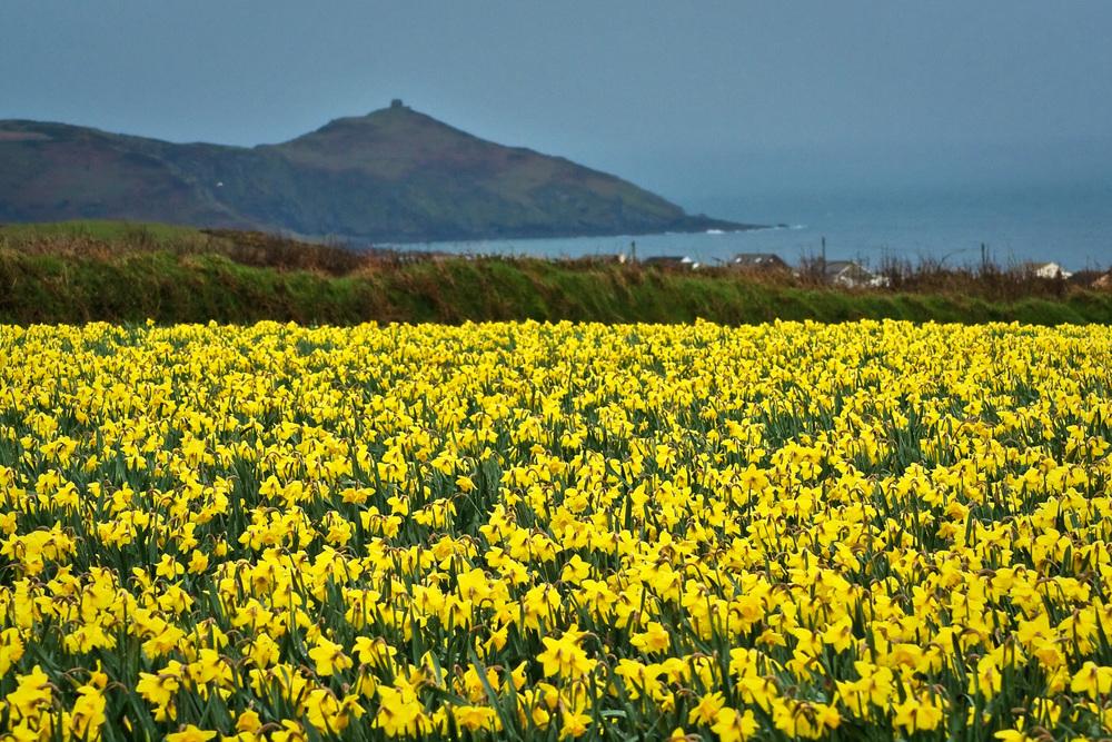 Cornwall_Daffodils.jpg
