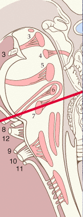 Figure 2: Look how close 7 is to the nucleus of 6.  Check your extra ocular movements in these patients! http://www.yale.edu/cnerves/cn7/cn7_1.html