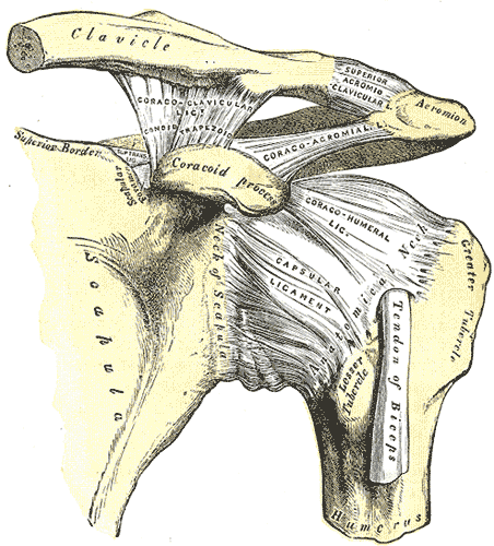 AC Joint Anatomy.  http://upload.wikimedia.org/wikipedia/commons/3/3b/Gray326.png