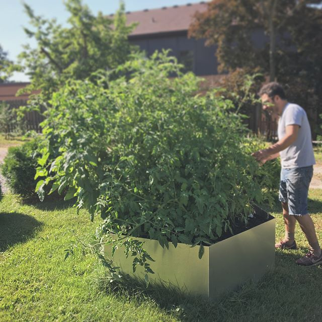 "LB making his Nonna and Nonno proud! 🍅 🍅 🍅!! He designed and fabricated this stainless steel raised garden bed for his home, which is also where our shop is. Can't wait to tell clients ""Pull in at the Tomato stand""."
