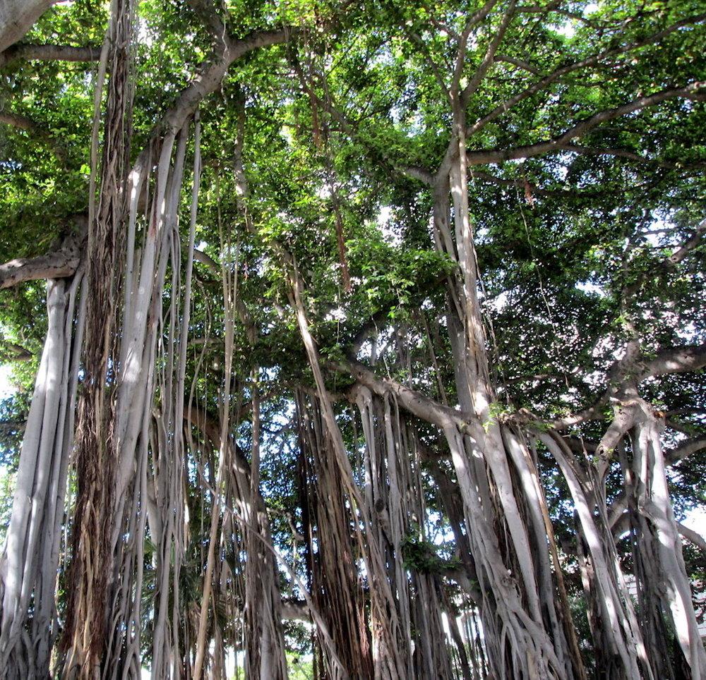 banyan trees1.jpg