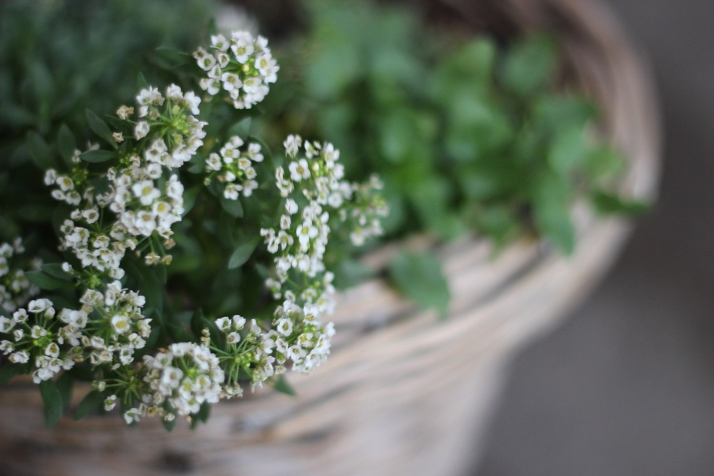 potted alyssum at our front door